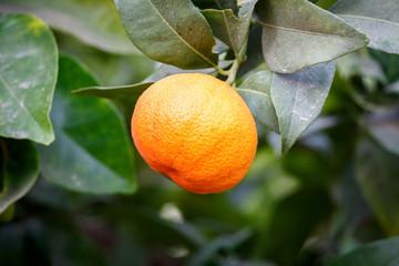 One ripe mandarin on a tree