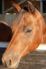 Portrait of one beautiful chestnut horse