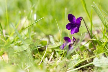 Viola flower between the grass