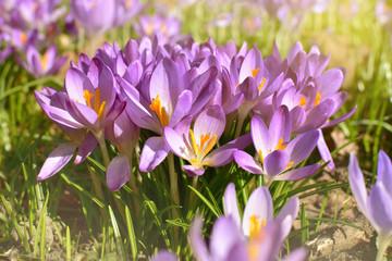 Blühende lila Krokusse