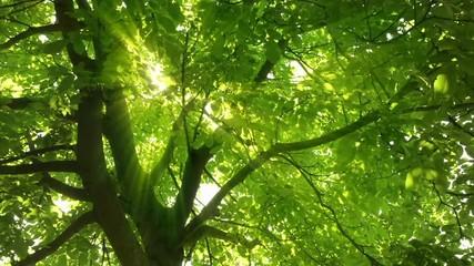 Wall Mural - Sonnenstrahlen fallen verzaubernd durch grüne Blätter