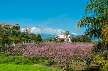 Kirschblüte am Fuße des schneebedeckten Ätna; Sizilien; Italien