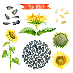 Sunflower, hand-painted watercolor set, vector clipping paths included.