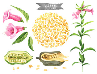 Sesame, hand-painted watercolor set, vector clipping paths included
