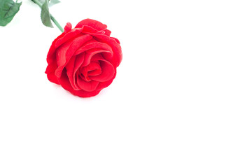 A red rose on white background