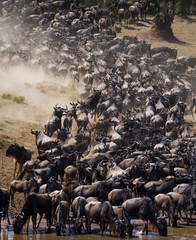 Big herd of wildebeest is about Mara River. Great Migration. Kenya. Tanzania. Masai Mara National Park. An excellent illustration.