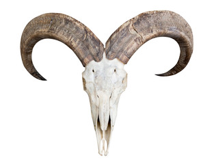 skull of barbary sheep