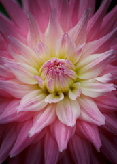 Closeup of a beautiful dahlia flower in pink pastel tones