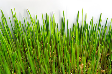 Young sprouts of wheat.