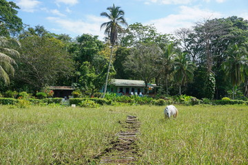 A horse in a pasture with a typical house in background, Puerto Viejo de Talamanca, Costa Rica, Central America