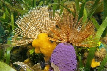 Underwater marine life, Magnificent feather duster worm with sea sponge on the seabed, Caribbean sea