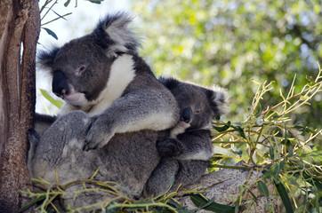 koala and joey in tree