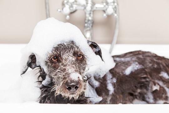 Funny Unhappy Wet Terrier Dog in Bathtub