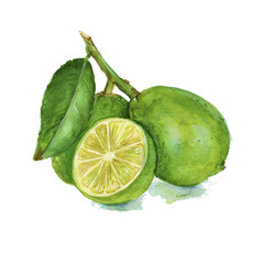 three lime on a branch. isolated. Watercolor