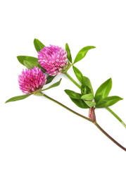 Red clover Trifolium pratense isolated on white background