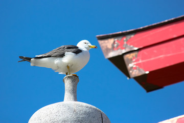 Perched seagull in front of Japanese Torii Gates