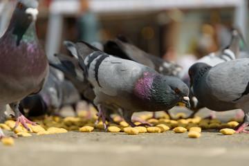 Pigeons feeding at city square.