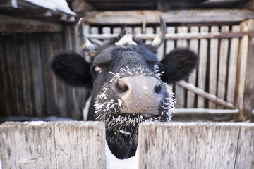 Close up of cow with frozen whiskers peering over fence