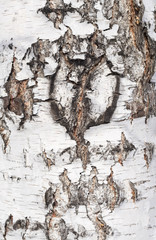 Fototapete - birch bark texture
