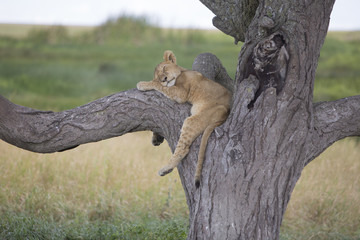 Lion cub sleeping on a tree branch