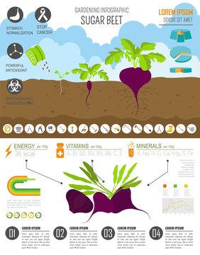 Gardening work, farming infographic. Sugar beet. Graphic templat