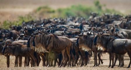 Wildebeests standing a small group in the savannah. Great Migration. Kenya. Tanzania. Masai Mara National Park. An excellent illustration.
