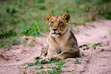 lioness looking intently at potential prey