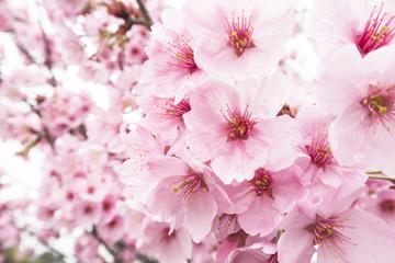 写真素材「桜」