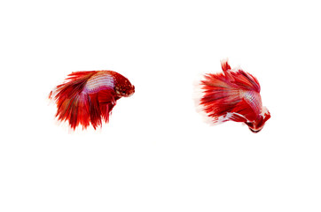Siamese fighting fish on white background,Beautiful fish isolated