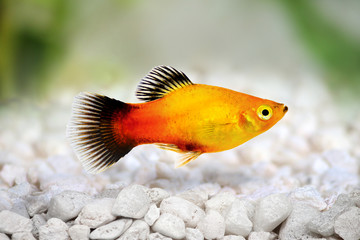 sunburst platy male Xiphophorus maculatus tropical aquarium fish