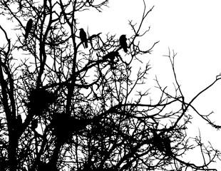 crows and nests on branches of tree