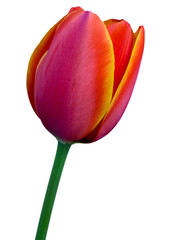 Tulip with white background