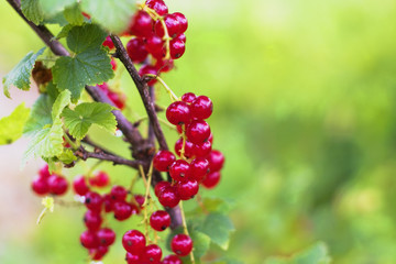 Red currant berries hanging on the bush in the garden