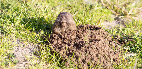 Botta's Pocket Gopher (Thomomys bottae) peeking from the burrow. San Francisco Bay Area, California, USA.