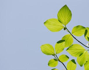 fresh green leaves growing in spring