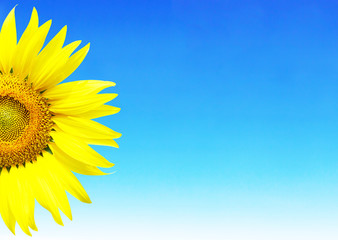 sunflower on blue sky background and space for text