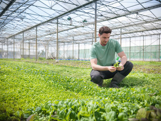 Worker in greenhouse crouching to inspect salad crops