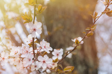 Spring flowers wallpaper with blooming tree in sunshine