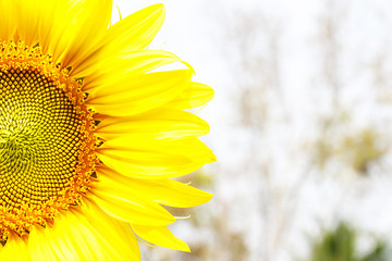 Half a sunflower flower on blur background and space for text