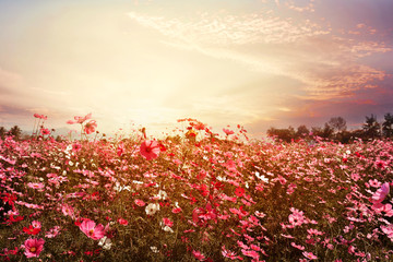 Fototapete - Landscape nature background of beautiful pink and red cosmos flower field with sunshine. vintage color tone
