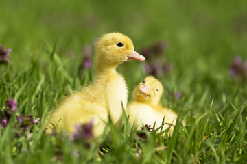 Little ducks in the grass