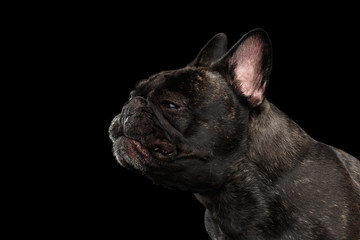 Foto op Aluminium Franse bulldog Close-up sneezes French Bulldog Dog in Profile view Isolated