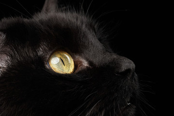 Closeup Yellow Eyes of Black Cat Snout on Background