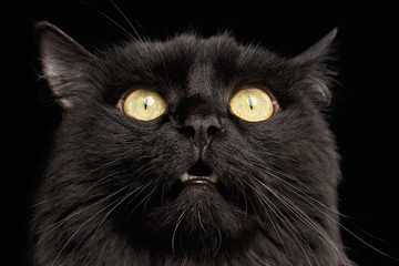 Closeup Surprised Black Cat Face with Yellow Eyes opening Mouth