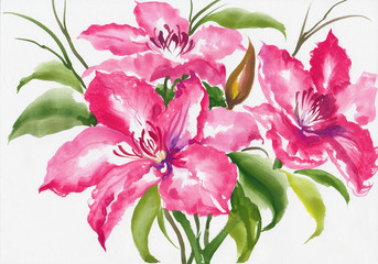 Beautiful lily flower watercolor painting isolated on white background