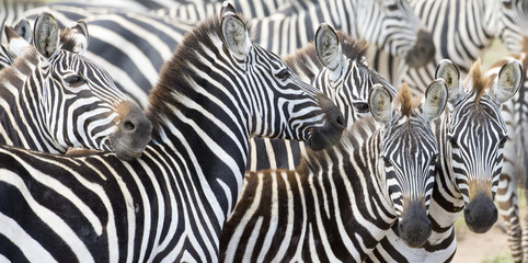 Herd of plains zebra (Equus burchellii) during migration, Serengeti national park, Tanzania. Wall mural
