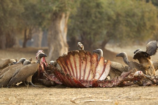White backed vultures - Gyps africanus - on a buffalo carcass - Syncerus caffer