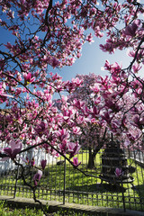 Flowered magnolia in Brianza (Italy)