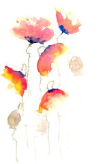 Red poppy flowers, watercolor hand painted on white paper