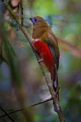 Portrait of Red-headed Trogon ( Harpactes erythrocephalus )